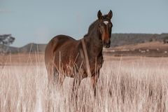 澳大利亚马在国家小牧场 图库摄影