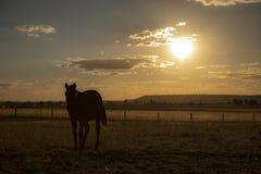 澳大利亚马在国家小牧场 库存照片