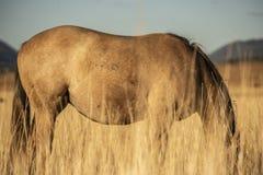 澳大利亚马在国家小牧场 免版税库存照片