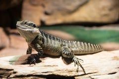澳大利亚鬣鳞蜥 库存图片