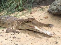 澳大利亚鳄鱼在庭院里 库存照片