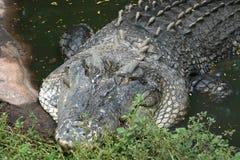 澳大利亚鳄鱼 库存照片