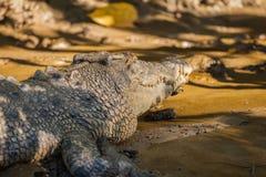 澳大利亚鳄鱼 免版税库存照片