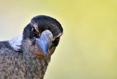 澳大利亚鸟纵向 免版税库存图片
