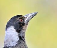 澳大利亚鸟纵向 库存图片