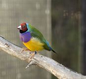 澳大利亚鸟雀科gouldian朝向的男性红色 免版税库存图片