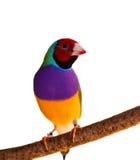澳大利亚鸟雀科gouldian男性红头发人 库存图片