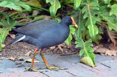 澳大利亚鸟-紫色swamphen 免版税库存照片