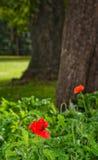 澳大利亚鸦片花澳大利亚野花在庭院里 库存照片