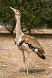 澳大利亚鸨鸟 免版税库存图片
