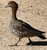 澳大利亚鸭子当地人 免版税图库摄影