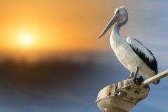 澳大利亚鹈鹕 库存图片