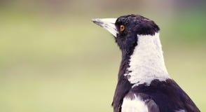 澳大利亚鹊 免版税库存图片