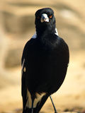 澳大利亚鹊 库存照片