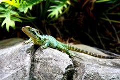 澳大利亚龙蜥蜴水 免版税图库摄影