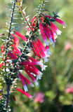 澳大利亚紫红色的荒地的花 免版税图库摄影