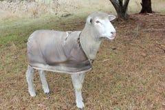 澳大利亚绵羊看 免版税库存图片