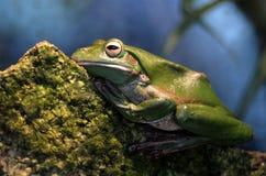 澳大利亚绿色雨蛙英属黄金海岸昆士兰澳大利亚 免版税库存照片