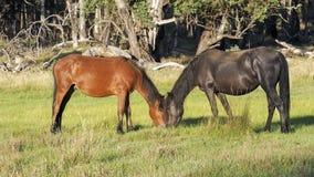澳大利亚Brumby母马和少年马驹 库存图片