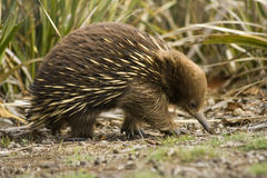澳大利亚echnida 免版税库存图片