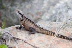 澳大利亚goana蜥蜴 库存图片