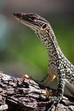 澳大利亚goanna沙子 免版税图库摄影