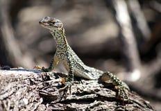 澳大利亚goanna沙子 库存照片