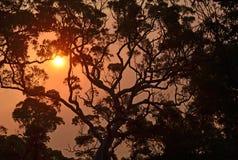 澳大利亚gumtree的剪影在日落的 图库摄影