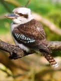 澳大利亚kookaboora 库存图片