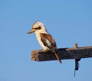 澳大利亚Kookaburra 免版税库存照片