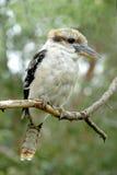 澳大利亚kookaburra 免版税图库摄影