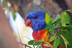 澳大利亚lorikeet彩虹 免版税图库摄影