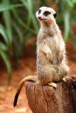 澳大利亚meerkat 库存图片
