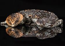 澳大利亚shingleback蜥蜴 免版税库存图片