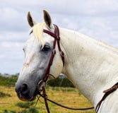 澳大利亚Stockhorse公马的头 库存图片