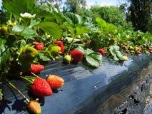 澳洲农厂南草莓 库存照片