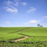 澳洲南葡萄园 免版税库存图片