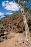 澳洲小河干燥碎片排列结构树 库存图片