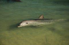 澳洲海湾西部宽吻海豚的鲨鱼 免版税库存图片