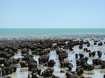 澳洲海湾西部鲨鱼的stromatolites 库存图片