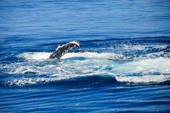 澳洲海湾hervey驼背鲸 免版税库存照片
