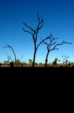 澳洲灌木 图库摄影
