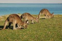 澳洲牧群kangroo 免版税库存照片