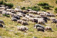 澳洲群地点报春花铺沙绵羊塔斯马尼亚岛 库存照片