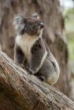 澳洲考拉 免版税图库摄影