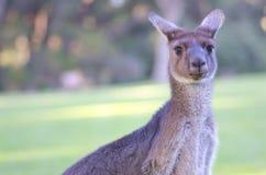 澳洲袋鼠纵向 图库摄影