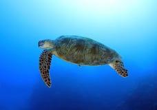 澳洲障碍石标极大的海洋礁石乌龟 免版税库存图片