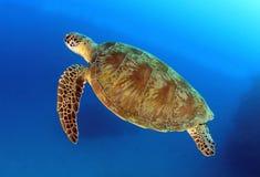 澳洲障碍石标极大的绿色礁石乌龟 库存照片