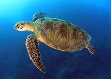 澳洲障碍石标极大的绿色礁石乌龟 库存图片