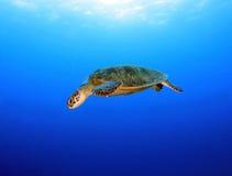 澳洲障碍石标极大的绿色礁石乌龟 免版税库存照片